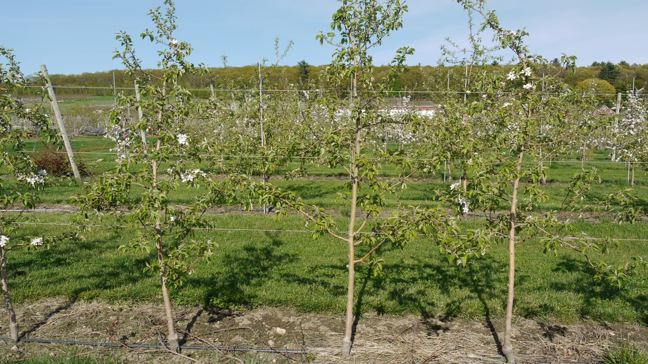 Honeycrisp Is Notoriously Biennial If Left To It S Own Look A The Return Bloom Or Lack Of On May 12 2017 This Group Le Trees Top