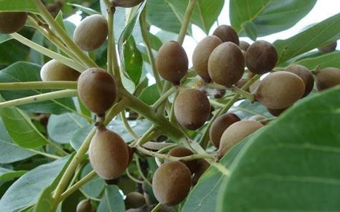 Baheda - Health benefits of Churna - Fruit - Bark