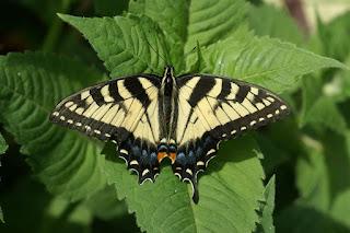 Papilio canadensis - Papillon tigré du Canada