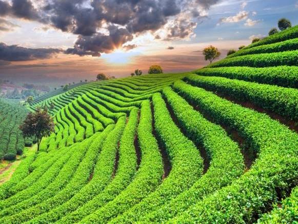 Campi di tè Giapponesi