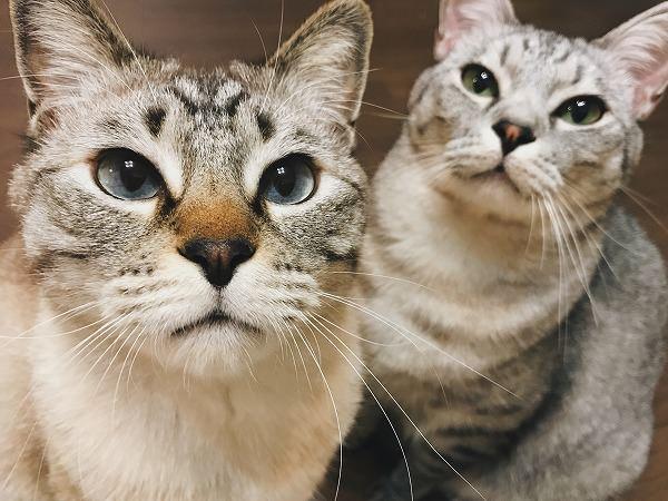 シャムトラ猫とサバトラ猫の2ショット