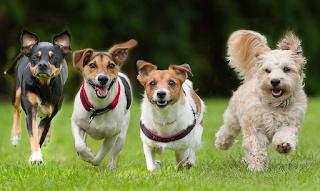 hewan terpintar dan tercerdas di dunia - anjing