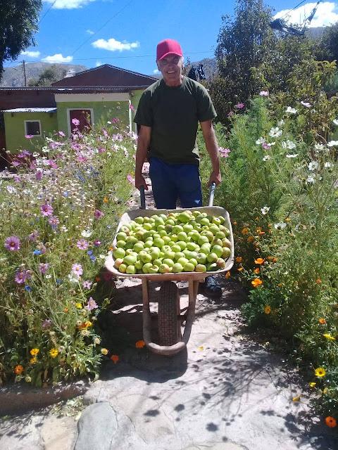 Apfelernte im Pfarrgarten