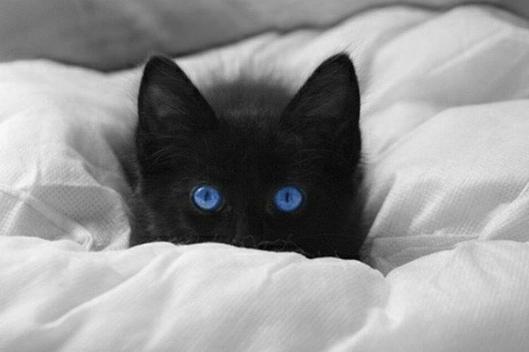 Mavi gözlü beyaz kedilerin büyük çoğunluğu sağırdır.