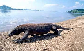 Komodo Dragon Pictures