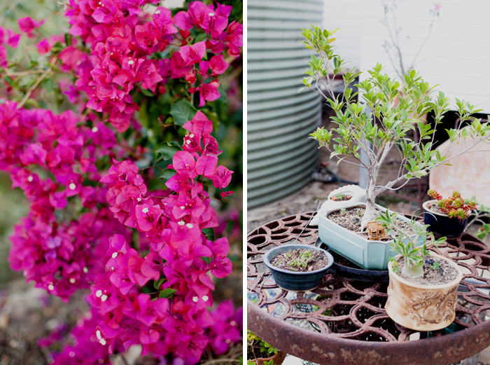 bonsai and bougainvillea