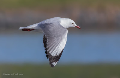 King Gull in Flight - Canon EOS 7D Mark II / 400mm Lens