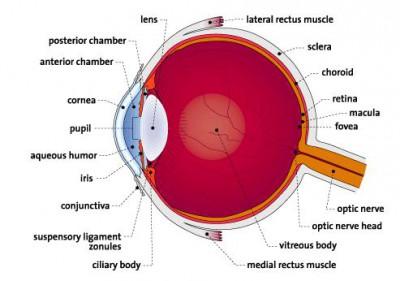 Anatomi Fisiologi: Sistem Indra