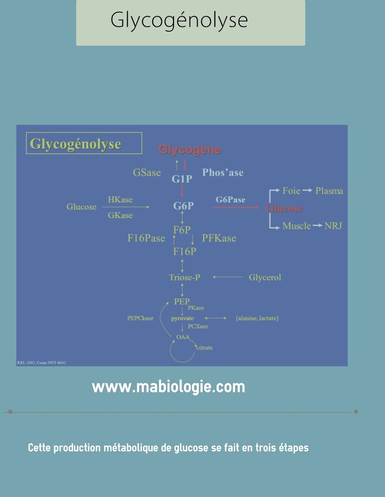 Définition Glycogénolyse