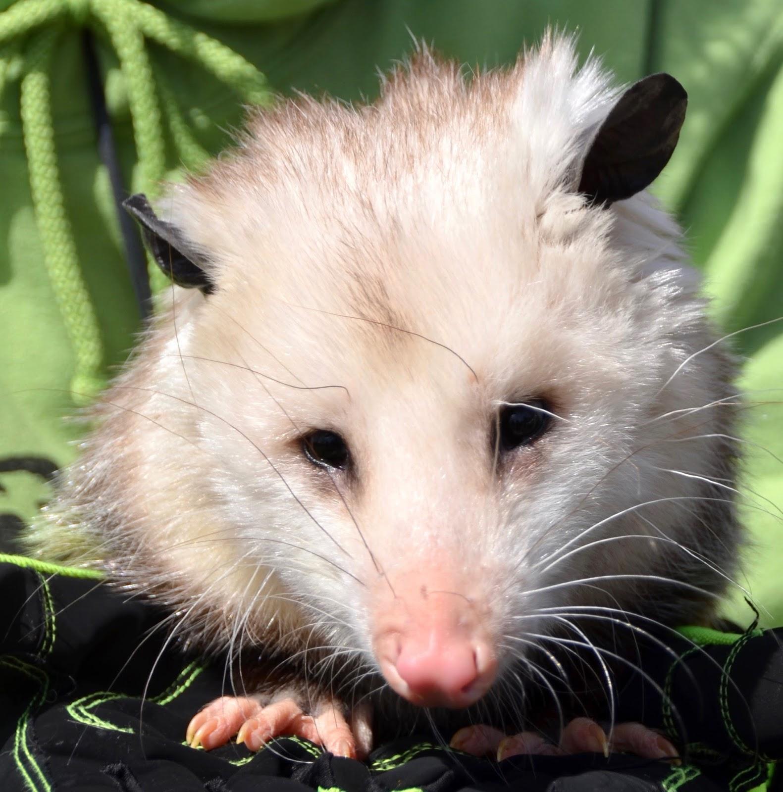 Opossum!