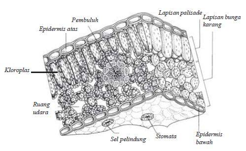 Bagian Daun yang Berperan dalam Fotosintesis