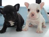 perros-bulldog-frances-por-rodrigo-bustos-julio