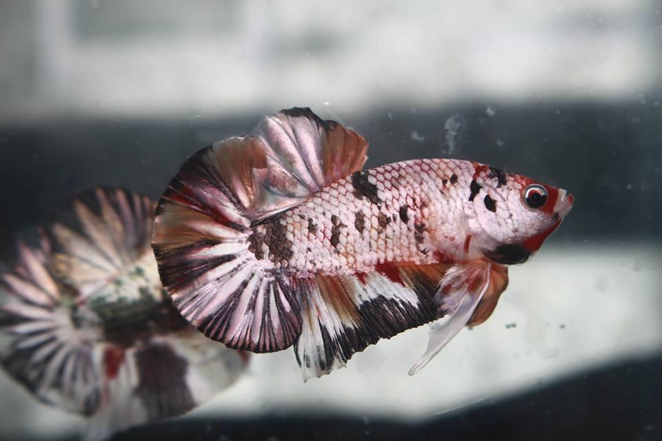 Bagaimana Cara Memindahkan Ikan Cupang Yang Baru Dibeli Ke Wadah Baru Aquaama