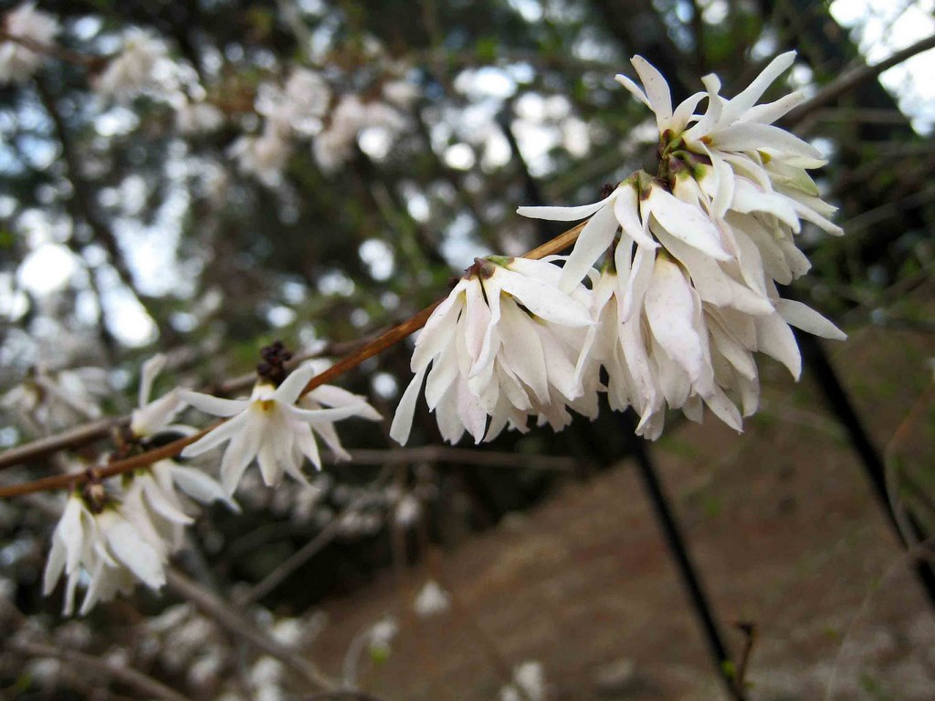 Arbusto con flores blancas y perfumadas