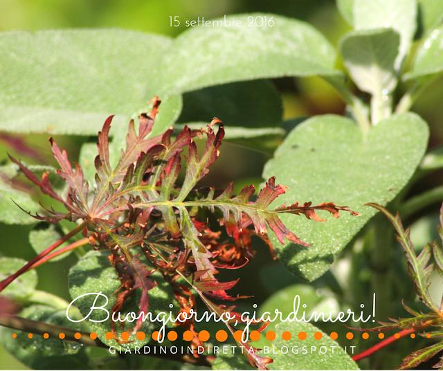 acero giapponese - il giardino dalla A alla Z -  i fiori della settimana - un giardino in diretta