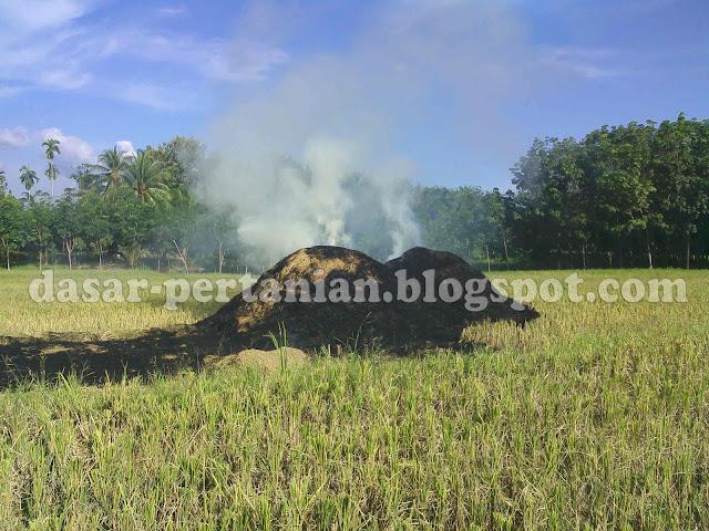 Dampak Buruk Membakar Jerami Padi Dilahan Sawah