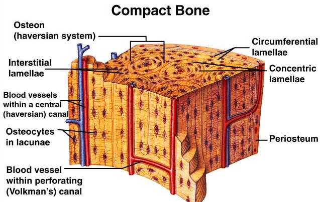 difference between compact bone and spongy bone | major differences, Sphenoid