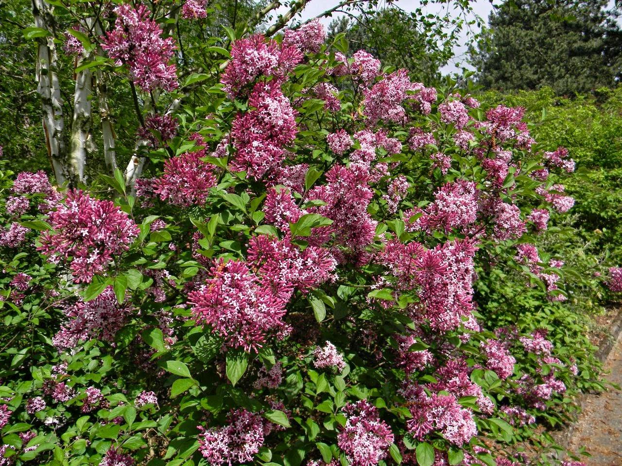 arboretum w Kórniku, krzewy ozdobne, rośliny kwitnące