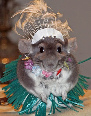 Funny Animals Funny Chinchilla Pictures