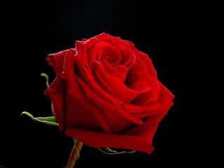 mawar-merah