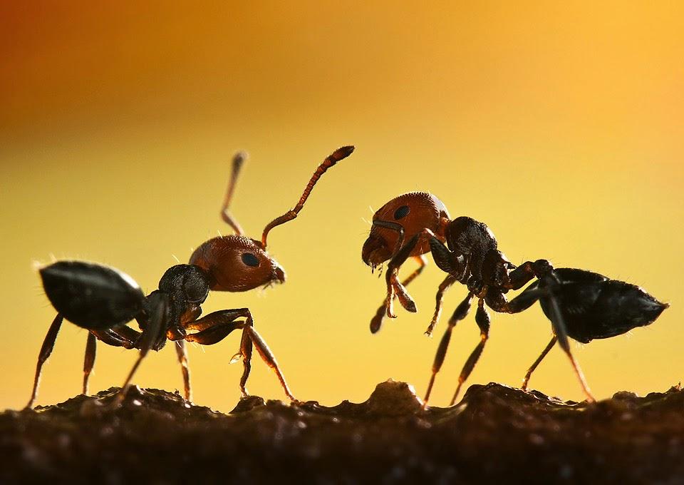 Goblin Punch: Giant Ants