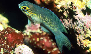 Gramma Linki - ikan Yellowlined Basslet