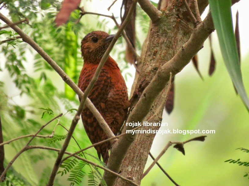 rufous woodpecker in Tampines Eco