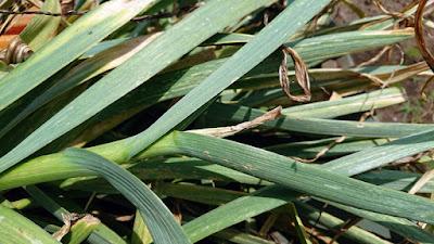 育ち過ぎたニンニクは花茎(ニンニクの芽)が完全に枯れていました。 これが収穫時期を過ぎた目安になることが判明。