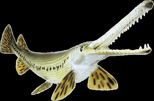 Ikan Alligator Gar Tidak Mau Makan Apa Penyebabnya Teknik Tani Ikan