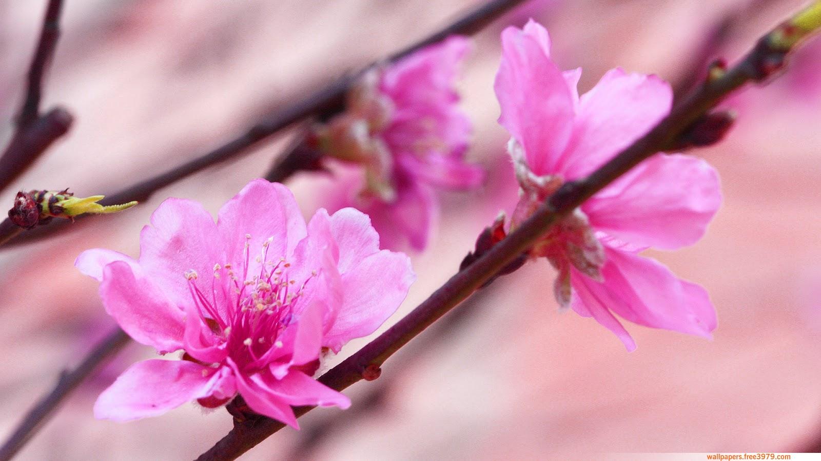 Asian teens cherry blossom virgins