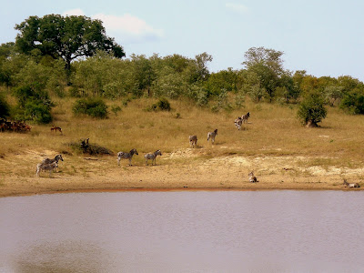 Kruger National Park, South Africa, safari, Zebras, watering hole