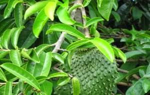 info kesehatan - manfaat buah sirsak untuk kesehatan