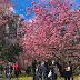 Cerejeiras reúnem turistas Parque do Carmo, em SP