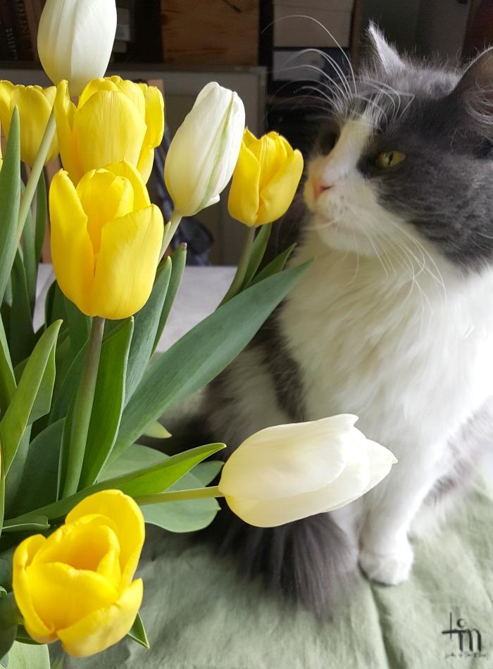 kissa haistelee tulppaaneita
