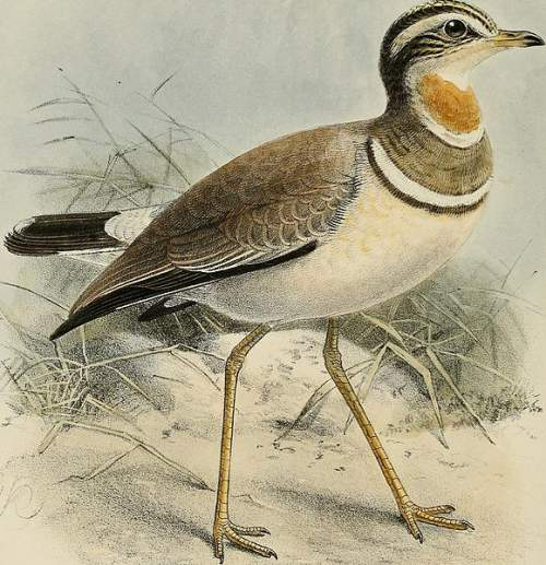 Birds of India - Photo of Jerdon's courser - Rhinoptilus bitorquatus