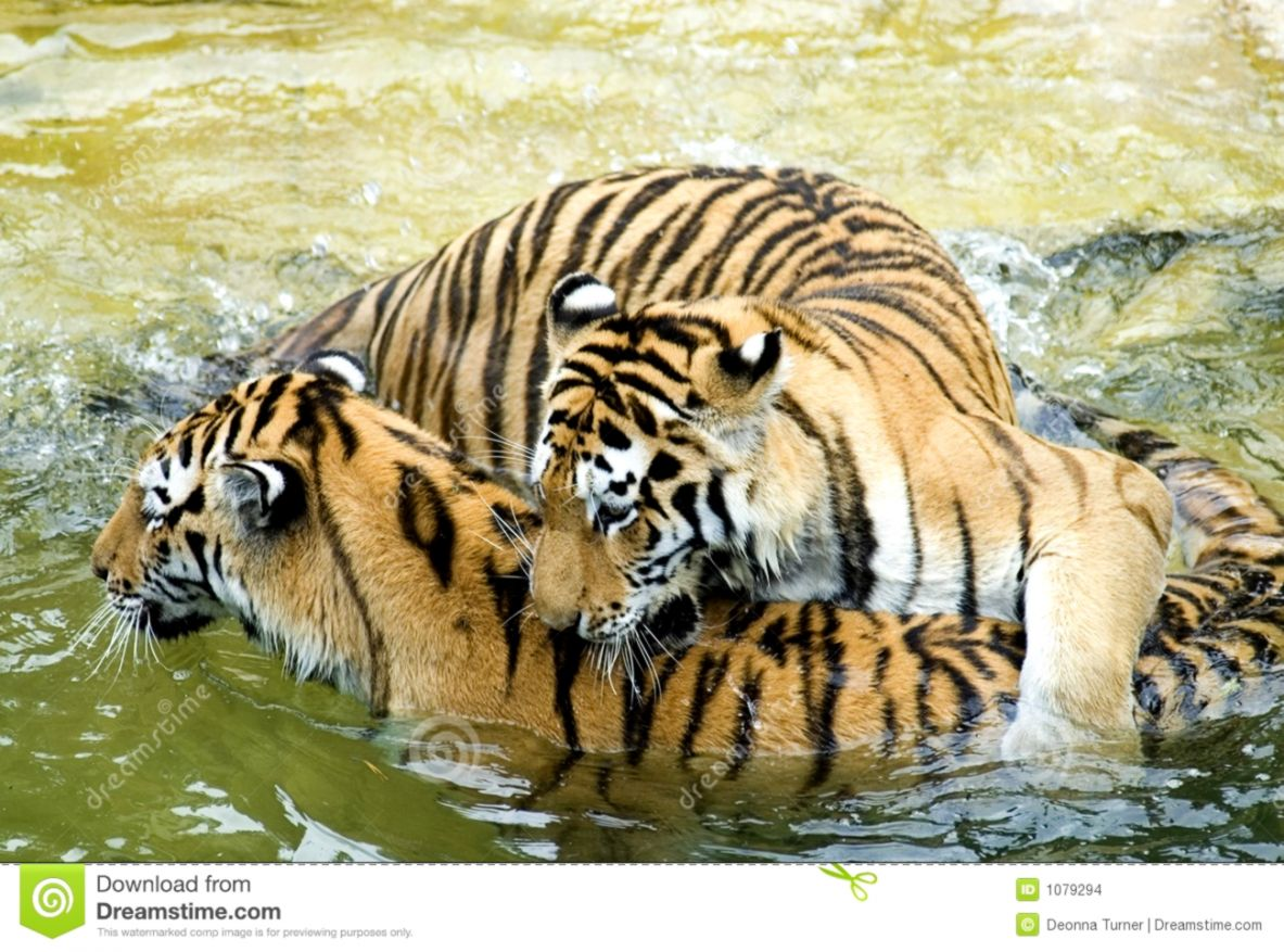 Tigers Playing in Water stock photo Image of africa cats 1079294
