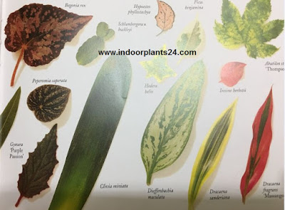 Foliage plants