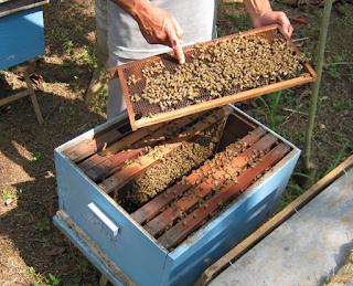 Membudidayakan Ternak Lebah