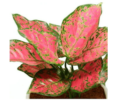 Aglaonema Red Ruby