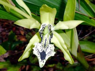 Gambar Bunga Anggrek Hitam (Black Orchid Flowers) 8000