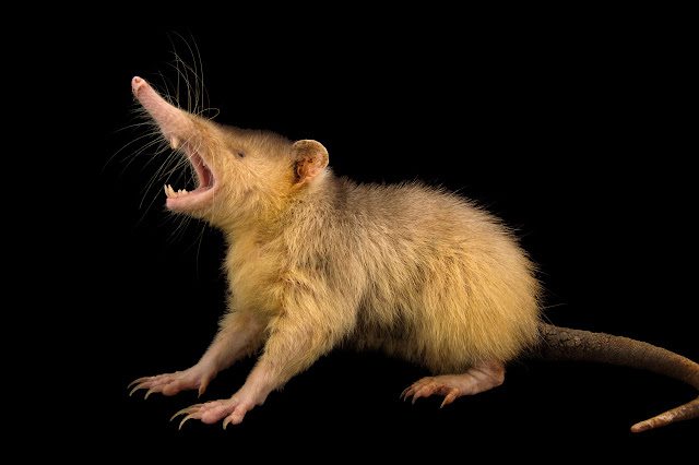 Endangered venomous mammal predates dinosaurs' extinction, dna study confirms