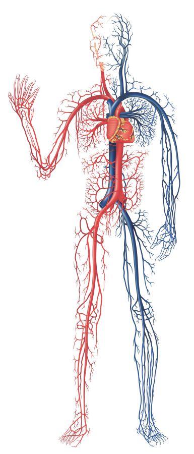 الأوعية-الدموية