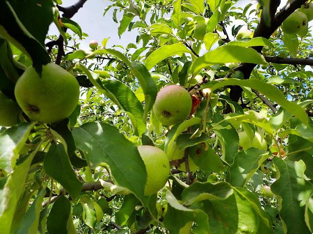 Dzika jabłoń w środku GOP-u