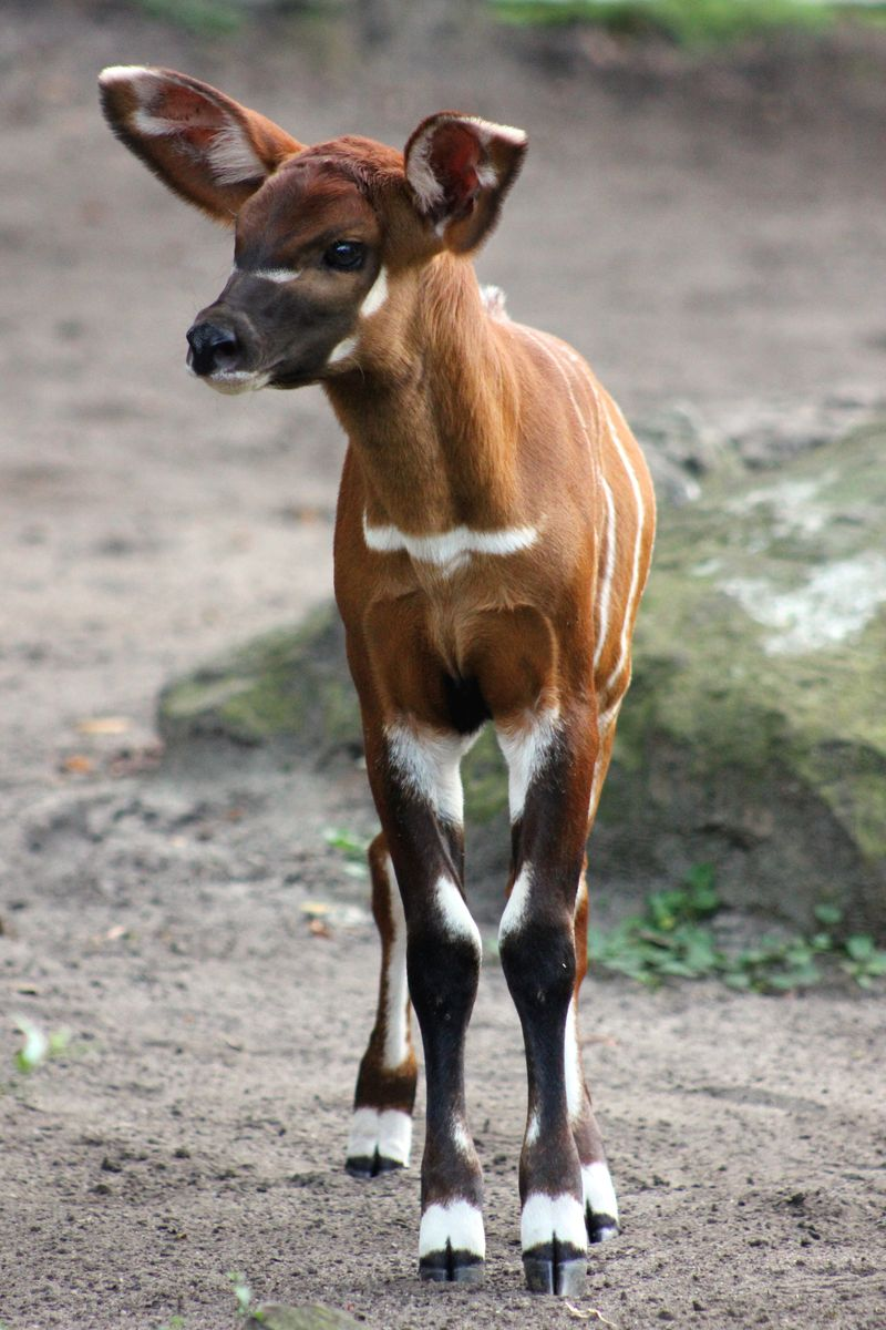 Baby Animals: Sitatunga Calf 9