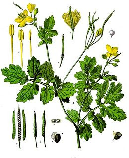 reater celandine is a medium-high plant, which has a solid, leafy tree covered with hairs. On the lower part of the stable there are leaves with a dash, and on the upper part there are leaves without a dash. The leaves are green, and on the lower side are light gray and have hairs.