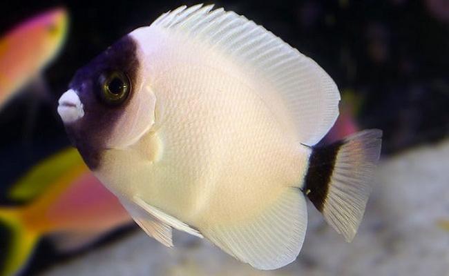 Manfish topeng