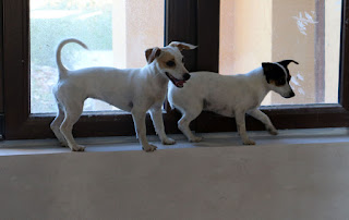 Puppies on the window sill