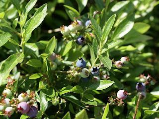 Bleuet à feuilles étroites - Vaccinium angustifolium - Airelle à feuilles étroites