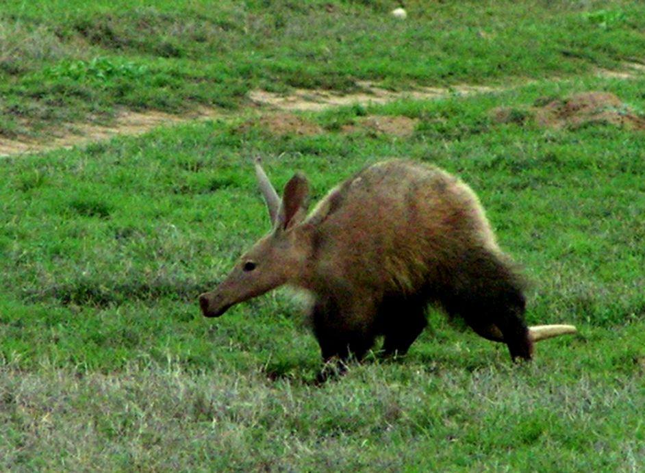 Free aardvark Wallpaper download Animals Town