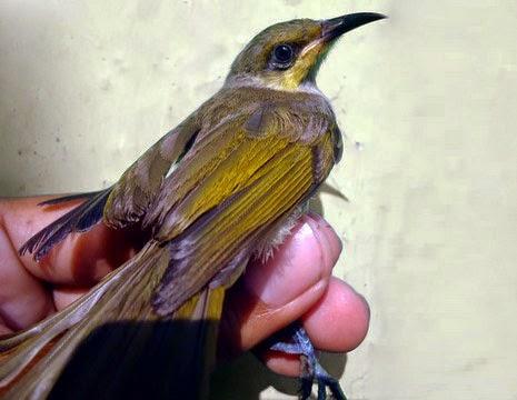 merupakan salah satu burung pemakan nektar Tips Cara Membedakan Burung Cucak Kombo Jantan dan Betina